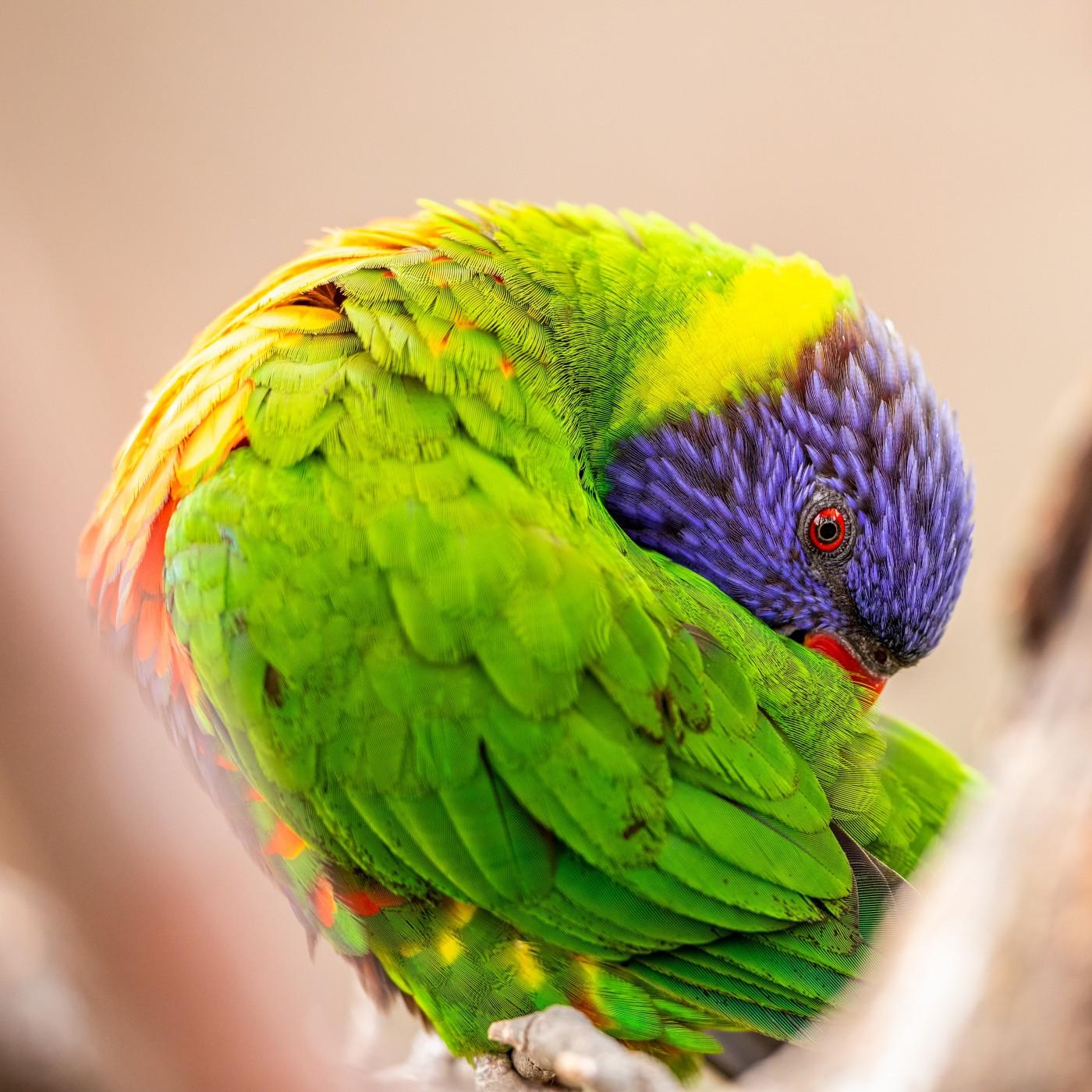 整理羽毛的绿毛鹦鹉封面大图