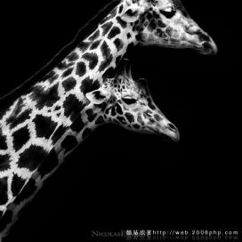 分享欧美动物摄影专家大师:黑白超酷野生动物摄影