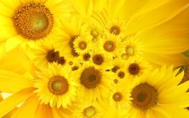 https://www.2008php.com/国外植物摄影大师:高清晰金灿灿向日葵微距花瓣图片