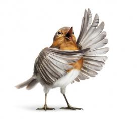 国外OPERA BIRDS表演生动的歌剧禽鸟