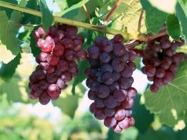 高清晰新鲜水果-提子-葡萄-梨