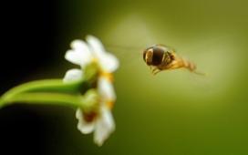 高清晰花和蜜蜂微距摄影壁纸