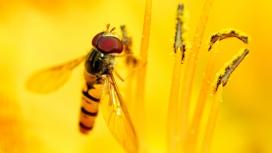 高清晰黄花蕾上的蜜蜂苍蝇壁纸