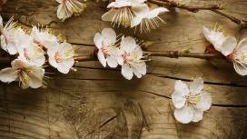 木板上开花的樱桃树分支