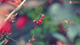 秋的印象-红色小樱桃水果壁纸