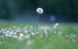 高清晰微距下的蒲公英植物摄影