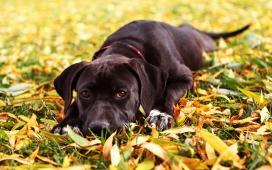 可爱的黑色小狗和秋季树叶