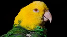 绿色和黄色的鹦鹉