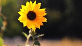 https://www.2008php.com/美丽的向日葵太阳花壁纸