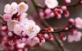 https://www.2008php.com/粉红色的Cherry Blossoms樱花
