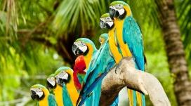 列队的蓝金刚鹦鹉鸟