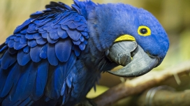 蓝色金刚鹦鹉