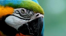 金刚鹦鹉写真