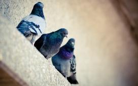窗台上的三只鸽子