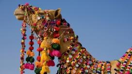 被装饰的骆驼