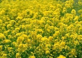 https://www.2008php.com/婺源归来-七张高清晰金黄色油菜花壁纸