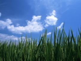 凉亭白云霞的绿色稻田