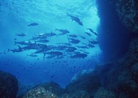 高清晰蓝色海洋群鱼壁纸