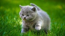绿草中寻找食物的灰色小猫咪