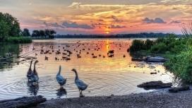 日落湖下的鹅