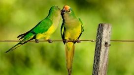 停留在生锈铁丝上的亲密绿色鹦鹉鸟壁纸