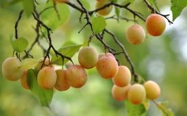 高清晰新疆葡萄提子水果壁纸