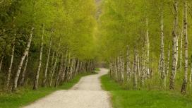 高清晰绿色白桦林路壁纸