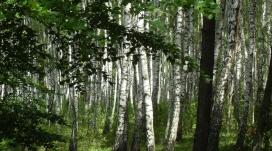 高清晰白桦林壁纸