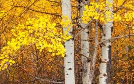 高清晰秋季白桦树桌面壁纸下载