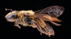 高清晰美丽的蜜蜂微距写真壁纸