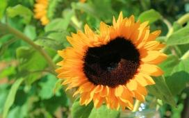 高清晰太阳花向日葵花瓣壁纸