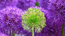 https://www.2008php.com/高清晰紫色洋葱花壁纸