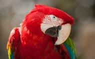 高清晰红色金刚鹦鹉鸟