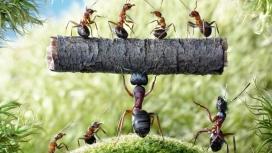强壮搬运东西的蚂蚁