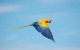 飞行的金刚鹦鹉