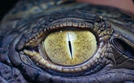 高清晰鳄鱼的眼睛特写壁纸