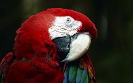 高清晰红嘴鹦鹉鸟壁纸