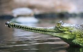 高清晰水中鳄鱼壁纸