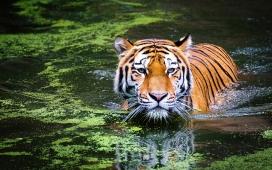 高清晰沼泽湖下水的老虎壁纸