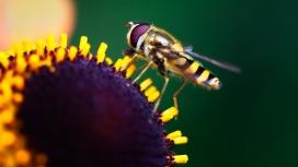 向日葵上采蜜的蜜蜂