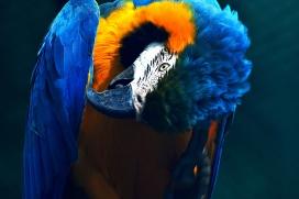 高清晰整理羽毛的金刚鹦鹉壁纸