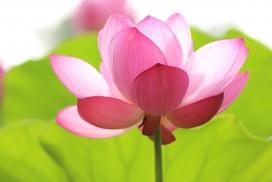高清晰粉红色荷花壁纸