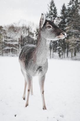 https://www.2008php.com/高清晰冬季小鹿壁纸