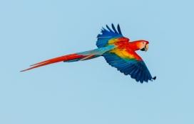红蓝鹦鹉鸟