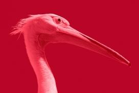 高清晰红长嘴鸟壁纸