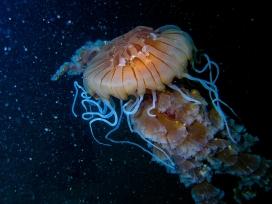 高清晰完美细节的水母海洋生物IMAC壁纸