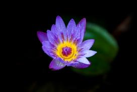 高清晰带露珠的紫色睡莲花瓣壁纸