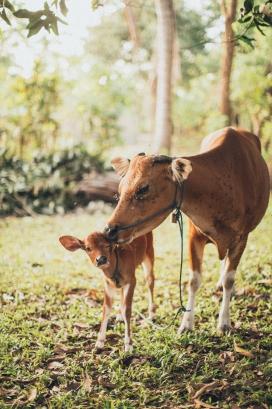 高清晰牛妈妈与牛宝宝壁纸