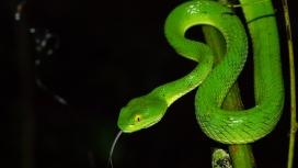 高清晰竹子上的绿色竹叶青毒蛇壁纸