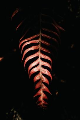 https://www.2008php.com/高清晰红色凤尾蕨壁纸